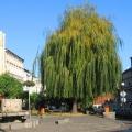niemcza-rynek-drzewo.jpg