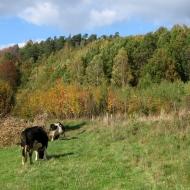 nowina-widok-krowy.jpg