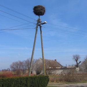 osiny-gniazdo-bocianie