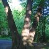 pszczyna-park-zamkowy-drzewo-1