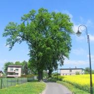 pawlowice-drzewo