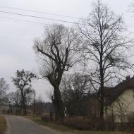 pniowiec-drzewa-1