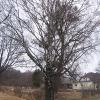 pniowiec-drzewa-2
