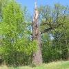 pruskow-drzewa-1
