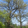 pruskow-drzewa-2