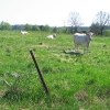 pruskow-laka-krowa