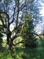 przelecz-rozaniec-drzewo.jpg