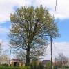 radzikow-drzewo