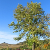 romanowo-drzewo.jpg