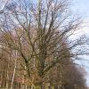 sierakowice-drzewo