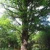 lasy-murckowskie-sobczyki-duze-pomnikowy-dab