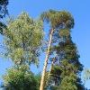 sobisz-drzewa-1