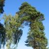 sobisz-drzewa-2