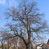 sosnicowice-drzewo
