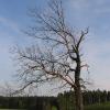 sowczyce-drzewo