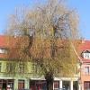 sroda-slaska-rynek-drzewo