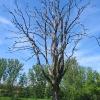 stenclowka-drzewo