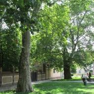 2024-trzebnica-ul-bochenka-platany-4