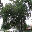 2105-walbrzych-ul-zeromskiego-buk-02