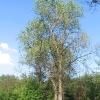 lasy-murckowskie-wiclowki-aleja-1