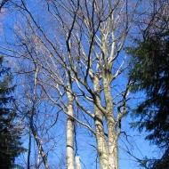 wilcza-drzewa.jpg