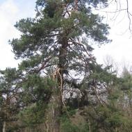 wroblik-drzewo-3